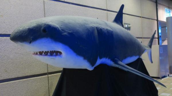 須磨海浜水族園ホホジロザメの剥製